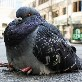 An image of Pigeon__